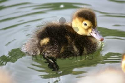 Tweety-Pie Duckling!