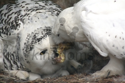 Snowy Owls - Feeding The Wife At Belmont Childrens Farm