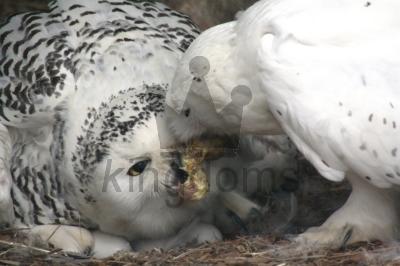 Snowy Owls - Feeding The Wife At Belmont Childrens Farm