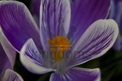 Purple Striped Pickwick Crocus