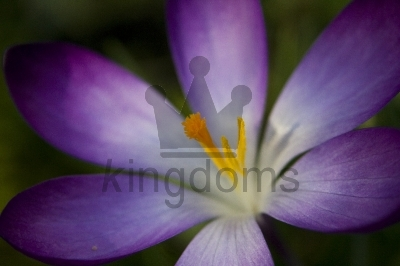 Purple Crocus Tommasinianus