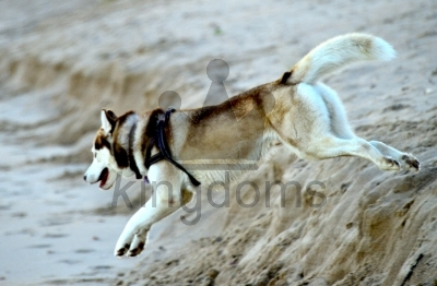 Siberian Husky Jumping