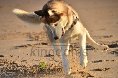 Siberian Husky Playing