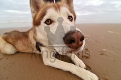 Siberian Husky Looking Into Camera