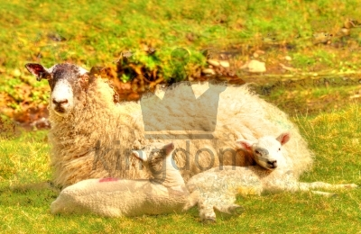 Mother With Lambs