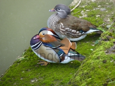 Mandarin Ducks: Drake & Female