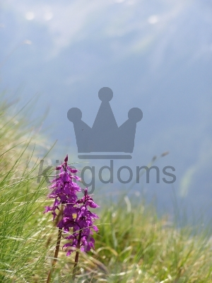 Wild Orchids On A Mountainside