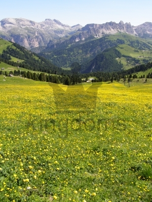Field Of Buttercups With Mountain Backdrop