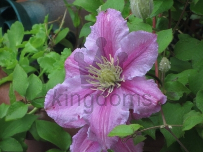 Clematis And Bud