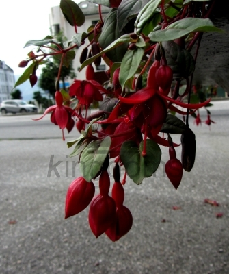 Red Fuschia