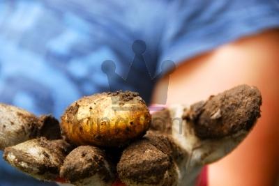 Home Grown Potato