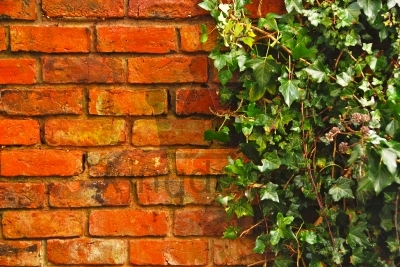 Wall And Ivy