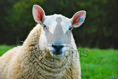 Sheep Close Up