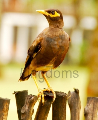 Sri Lanka Hill Myna