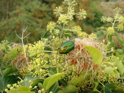Green Rose Chafer Beetle (Cetonia Aurata) On Ivy