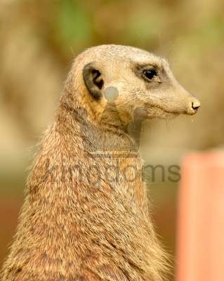 Meerkat Looking Right