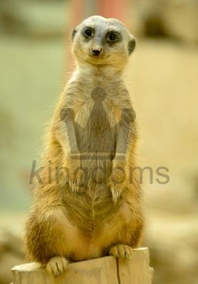 Thinking Meerkat
