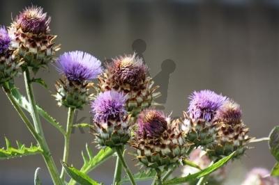 Common Thistle Flowers