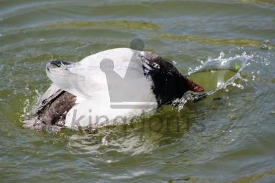 Duck Ducks!